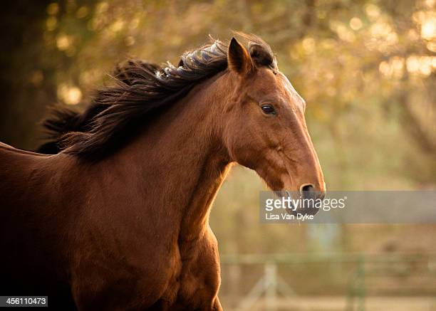 Quarter Horse Running