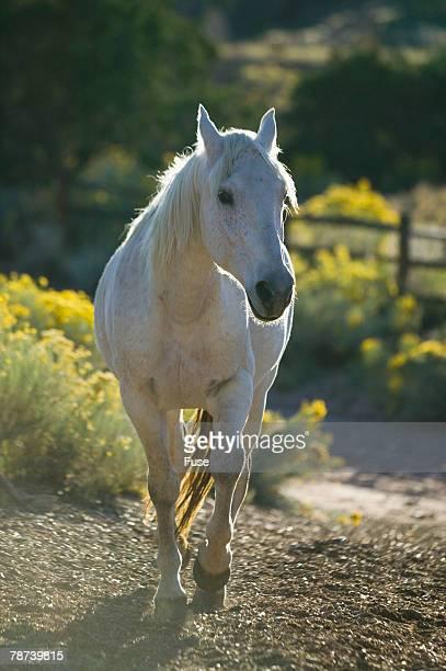 Quarter Horse Trotting on Trail