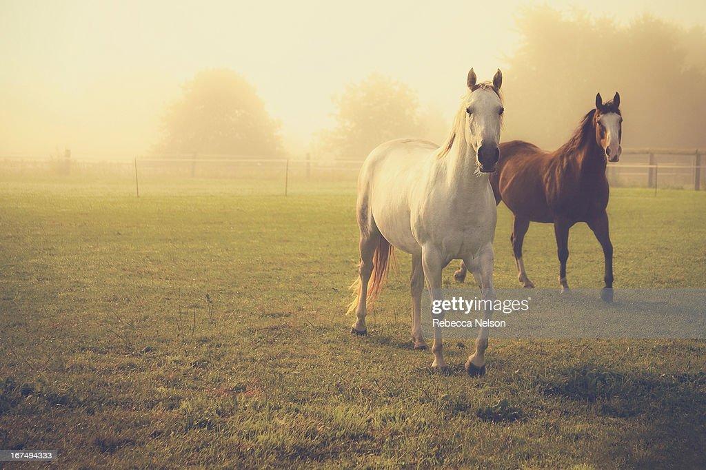 Quarter Horses in Morning Fog : Stock Photo