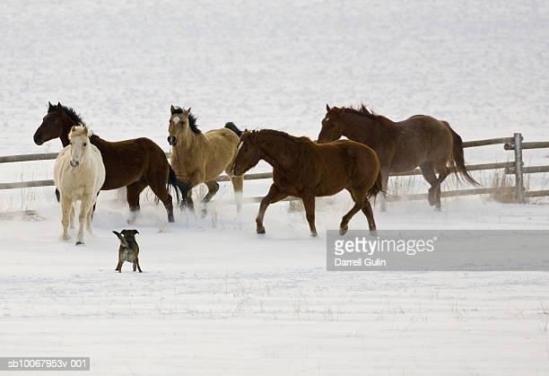 Quarter Horses on snow and sheperd dog
