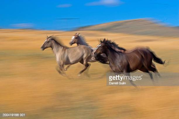 Quarter horses running across field of tall grass (blurred motion)