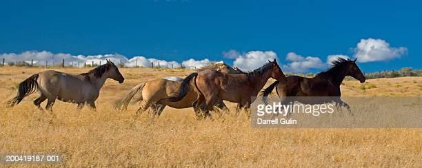 Quarter horses running across field of tall grass, side view