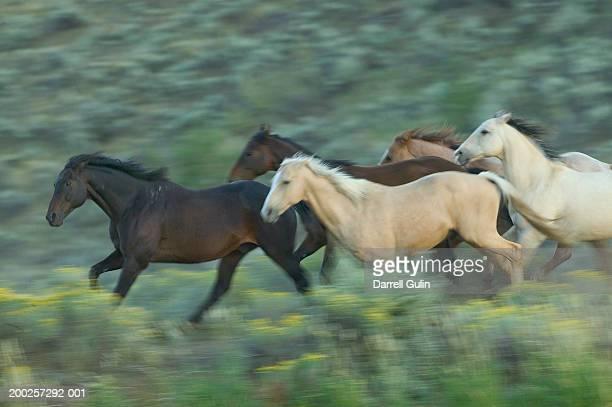 Quarter horses (Equus caballus) running in field (blurred motion)