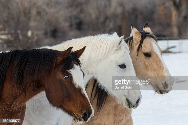 Quarter Horses Running in Snow Hideout Ranch