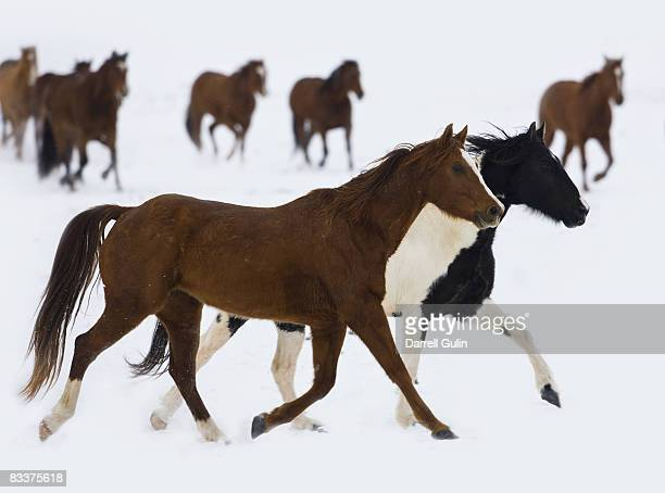Quarter Horses Running in Snow