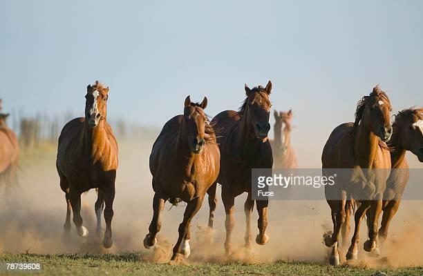 Quarter Horses Running