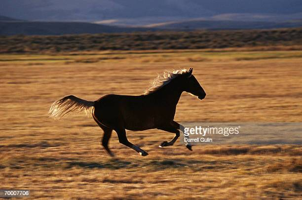 Quarter-horse (Equus caballus) running, Oregon, USA