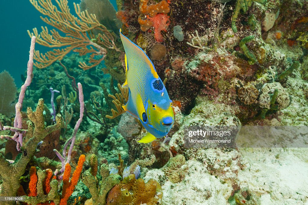 Queen Angelfish and Reef : Stock Photo