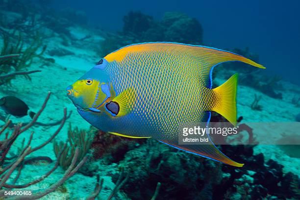 Queen Angelfish Holacanthus ciliaris Cozumel Caribbean Sea Mexico