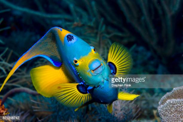 Queen angelfish stock photos and pictures getty images for Queen angel fish