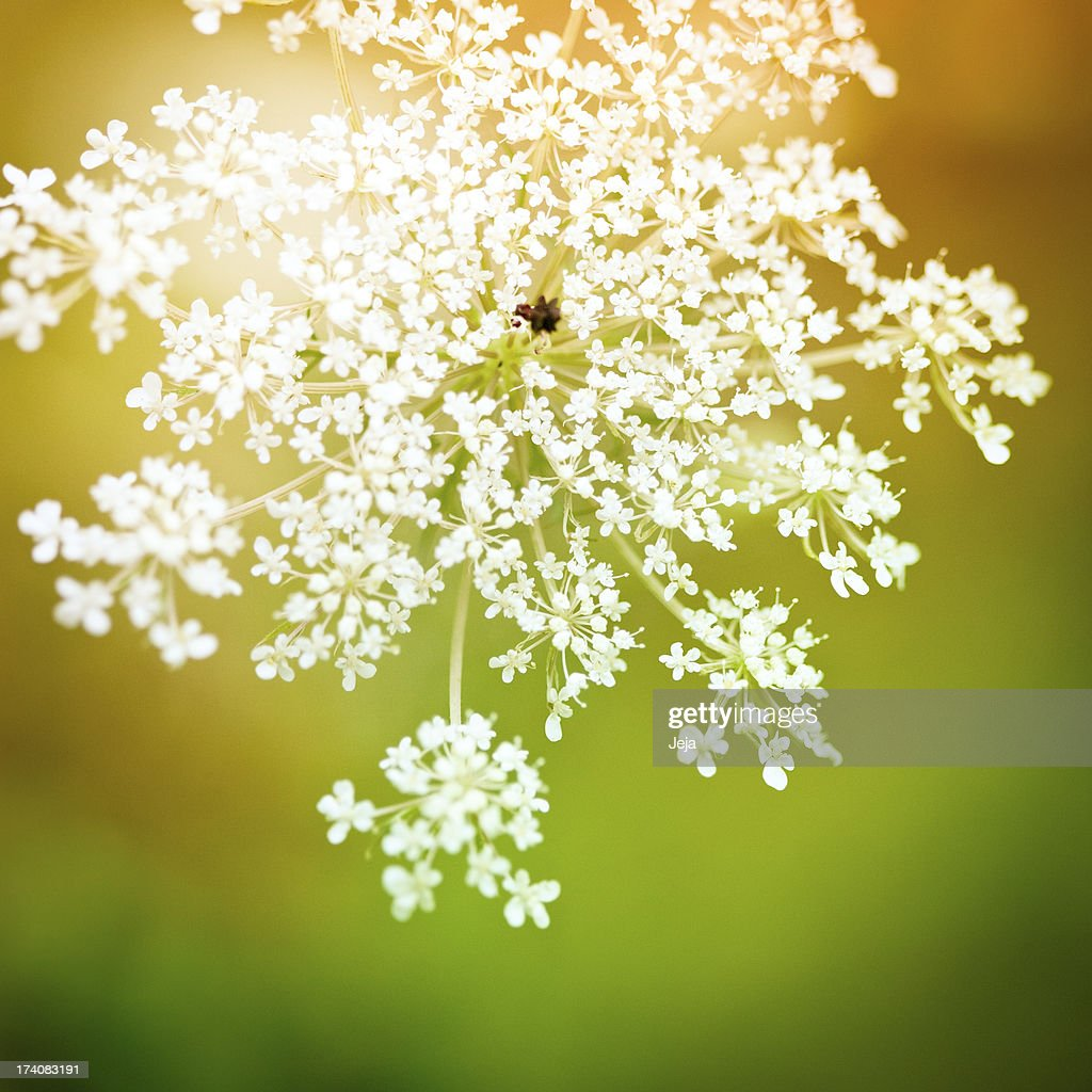 Queen Anne's Lace in autumn : Stock Photo