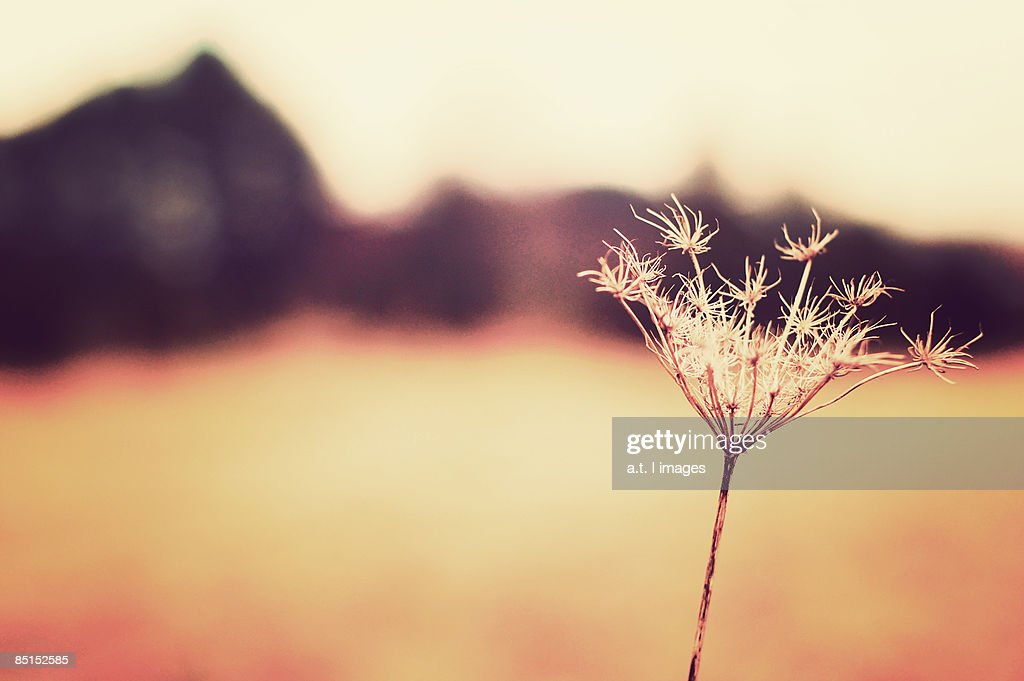 Queen Anne's Lace : Stock Photo