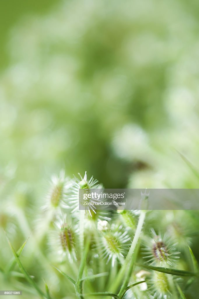 Queen Anne's Lace (Daucus carota) seed heads : Stock Photo