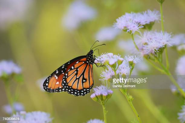 Queen butterfly (Danaus gilippus) feeding on blooming Greggs Mistflower (Conoclinium greggii), Hill Country, Texas, USA