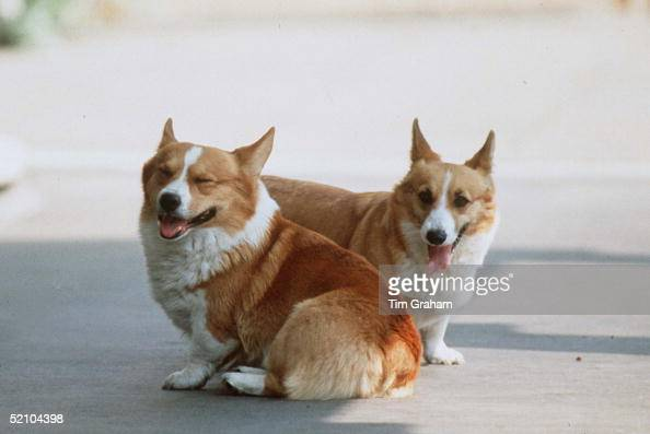 Queen Mother Corgis At Clarence House