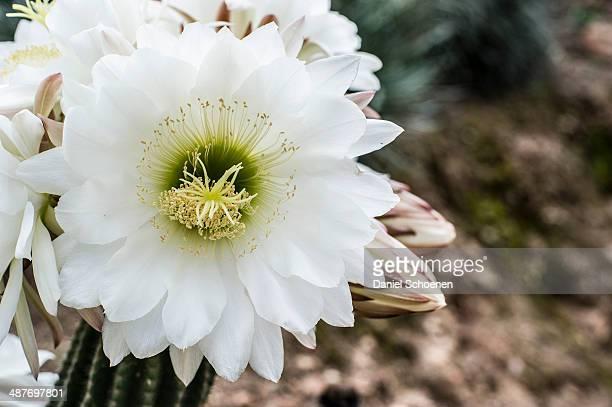 Queen of the Night cactus -Selenicereus grandiflorus-, Costa Brava, Spain