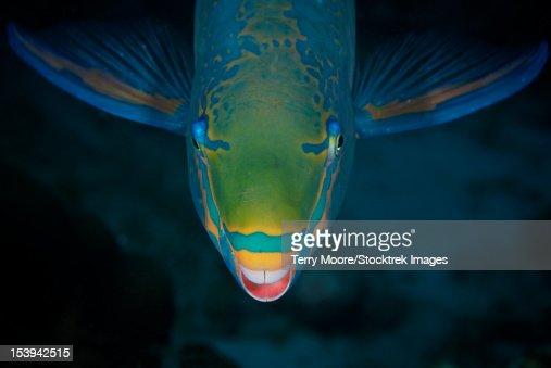 Queen Parrotfish feeding on algae, Bonaire, Caribbean Netherlands.