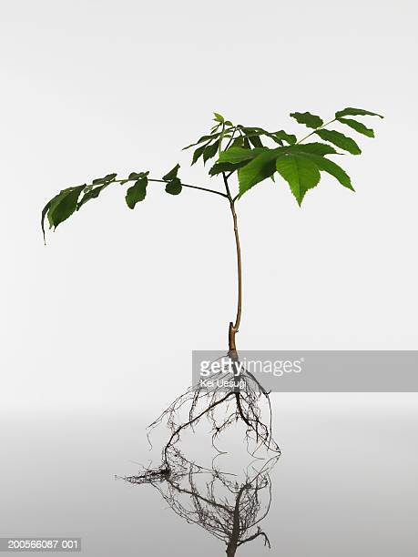 Quercus myrsinaefolia seedling on white background