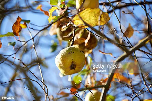 Quince, Cydonia oblonga, hanging on tree