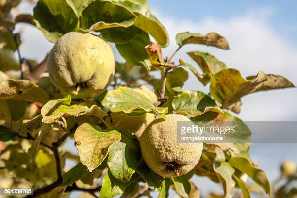 Quince tree and fruits