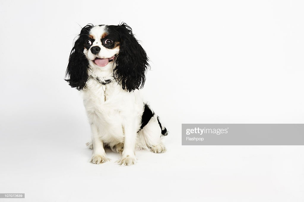 Quirky portrait of a Cavalier King Charles Spaniel : Stock Photo