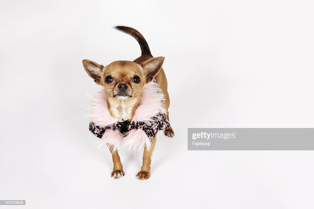 Quirky portrait of a Teacup Chihuahua : Stock Photo