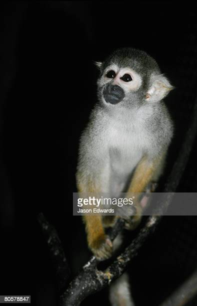 An inquisitive Bolivian Squirrel Monkey emerges from the shadows.