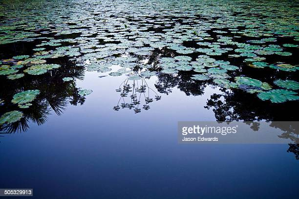 A rainforest canopy reflected in the calm surface of a wetland filled with Cecropia water lily.