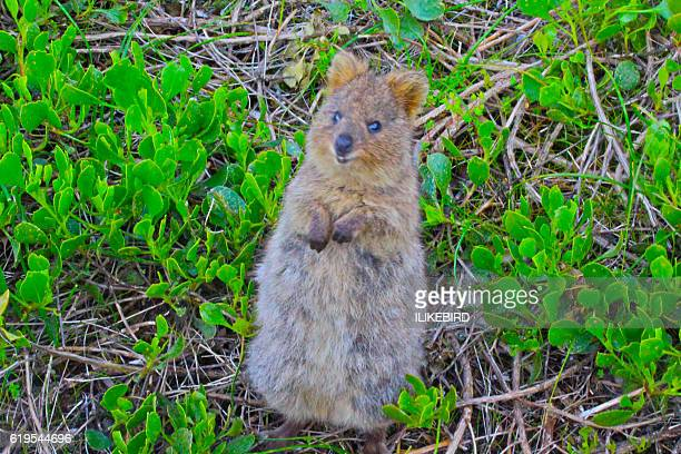Is this quokka for real?!