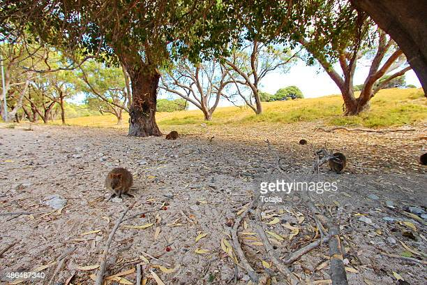 Quokkas everywhere you look