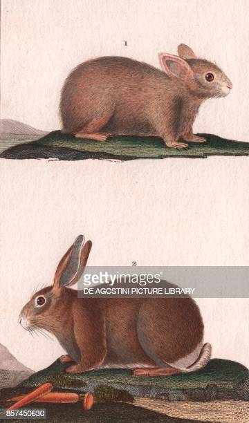 1 Rabbit 2 Hare colour copper engraving retouched in watercolour 9x15 cm from Dizionario delle scienze naturali compilato da vari professori del...