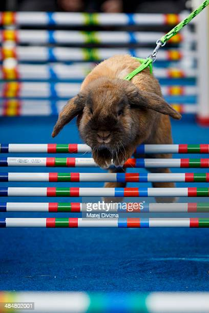 A rabbit a symbol of Easter jumps over an obstacle during Rabbit Steeple Chase at the Old Town Square's Easter market on April 14 2014 in Prague...