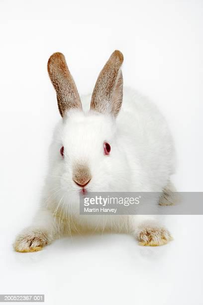 Rabbit against white background, close-up