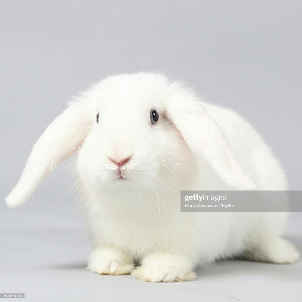 Rabbit Against White Background