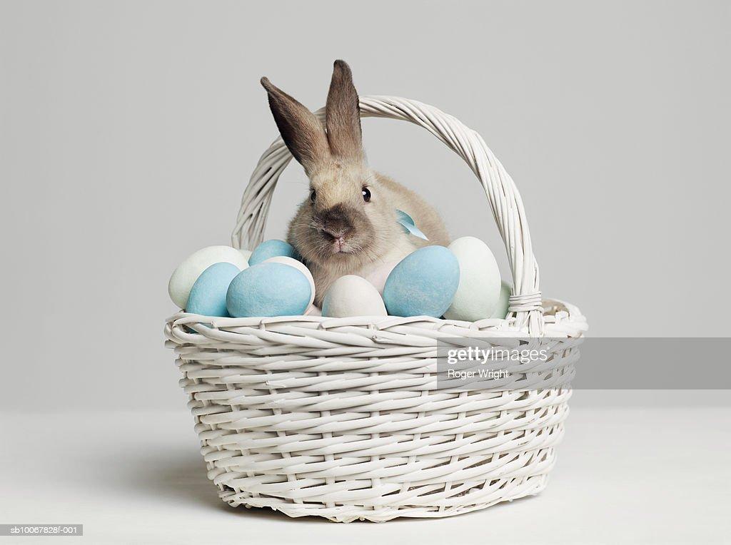 Rabbit amongst coloured eggs in basket, studio shot