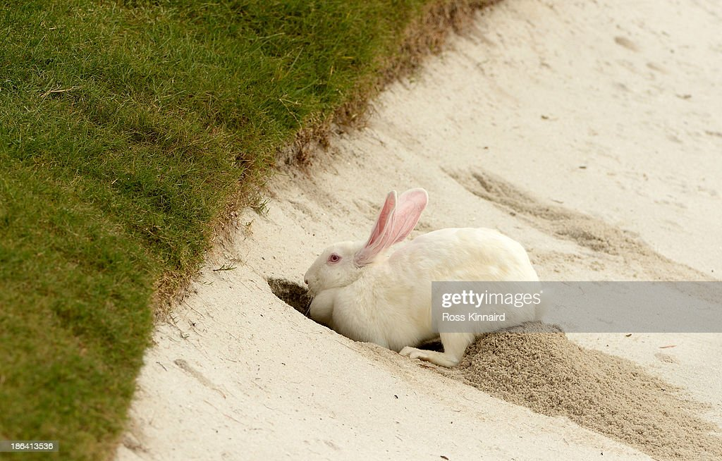 A rabbit burrows into the side of during the practice bunker during the first round of the WGC - HSBC Champions at the Sheshan International Golf Club on October 31, 2013 in Shanghai, China.