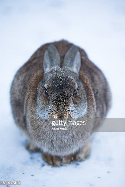 Rabbit close up in the snow