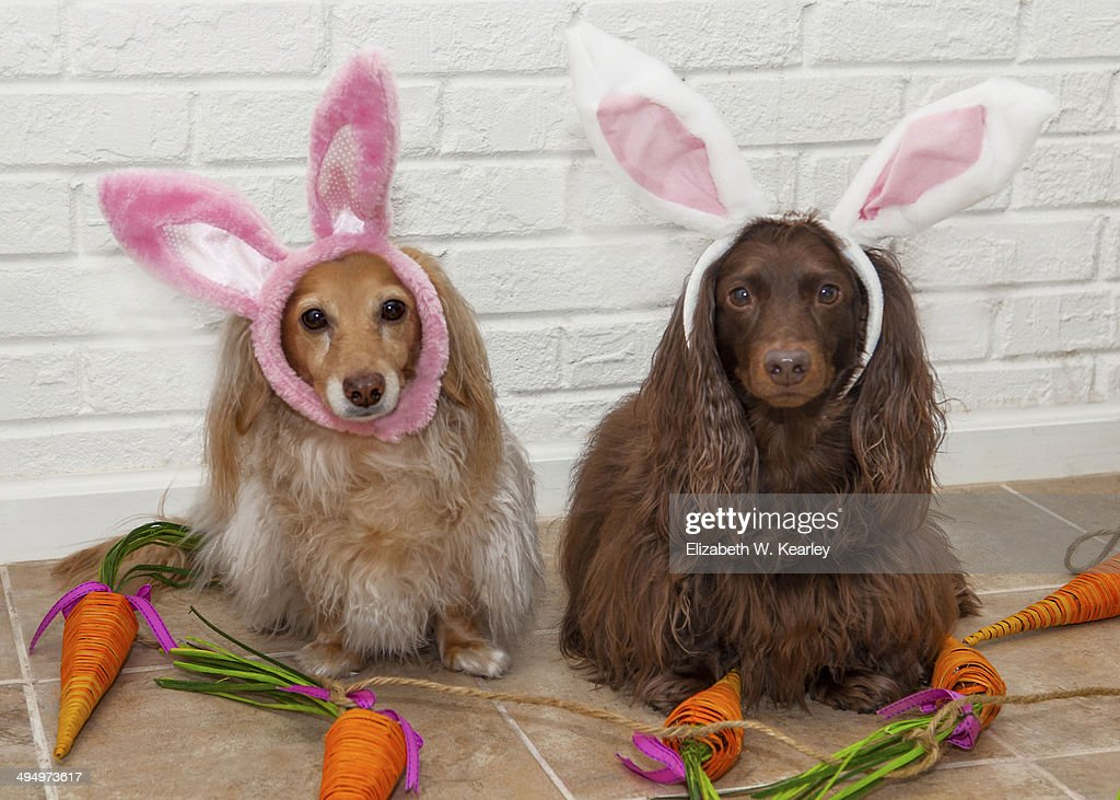 Pair of longhaired dachshunds wearing bunny ears for Easter surrounded by carrot decoration.