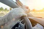 Rabbit drives a car, he is at the driver seat behind the steering wheel. Hare driver.. White Easter bunny rides to give gifts. Rabbit in the car