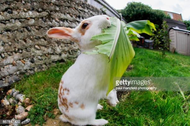 Rabbit eating banana plant in garden