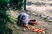 Rabbit Eating Carrots On Field