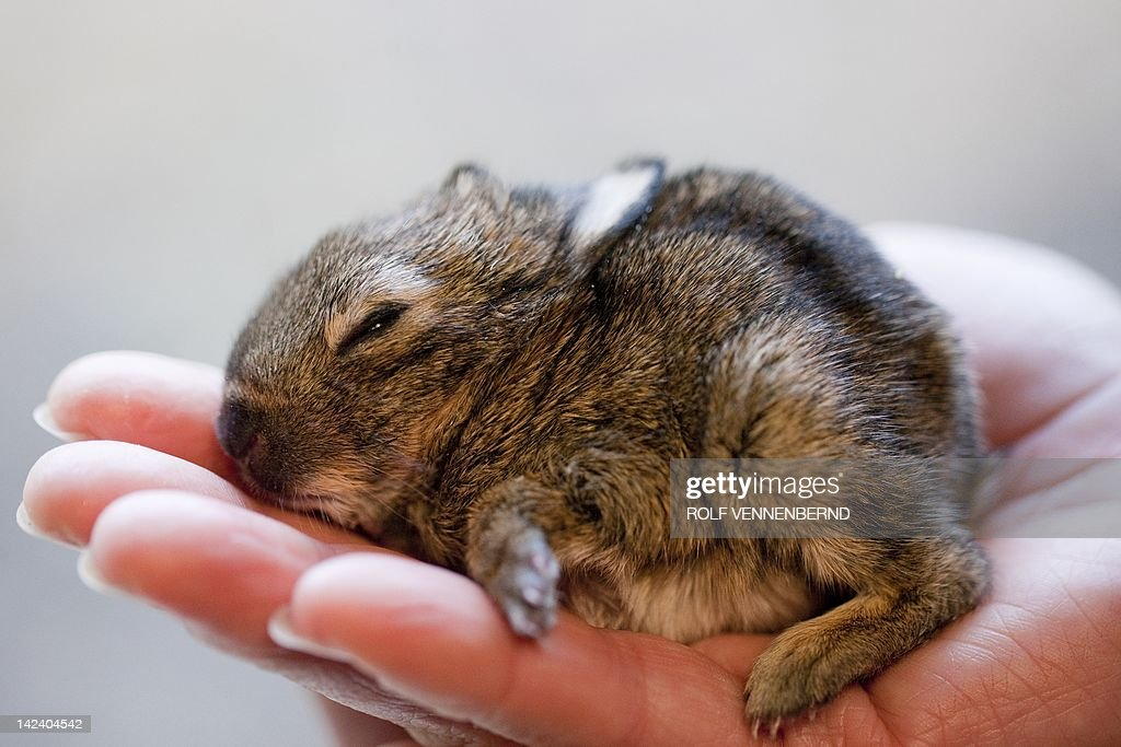 Rabbit foundling Ruediger sleeps on the hand of keeper Kristina at the zoo in Muenster, western Germany, on April 4, 2012. Ruediger, weighing 72 grams, and his sister Kaline (60 grams) were found in a dung pile at the zoo and are brought up now by keepers. AFP PHOTO / ROLF VENNENBERND GERMANY OUT