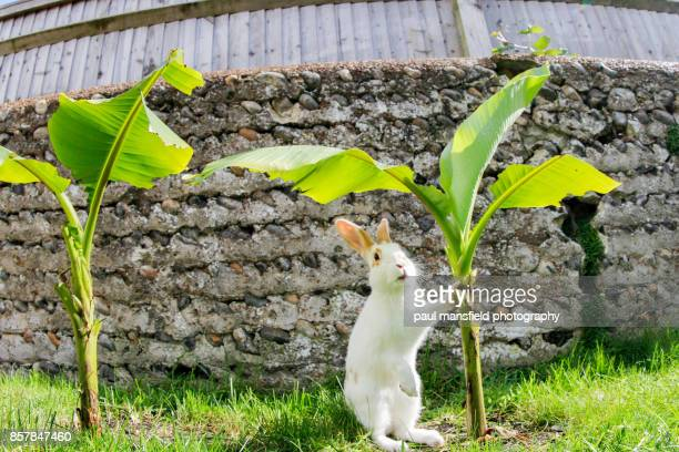 Rabbit holding onto banana plant in garden