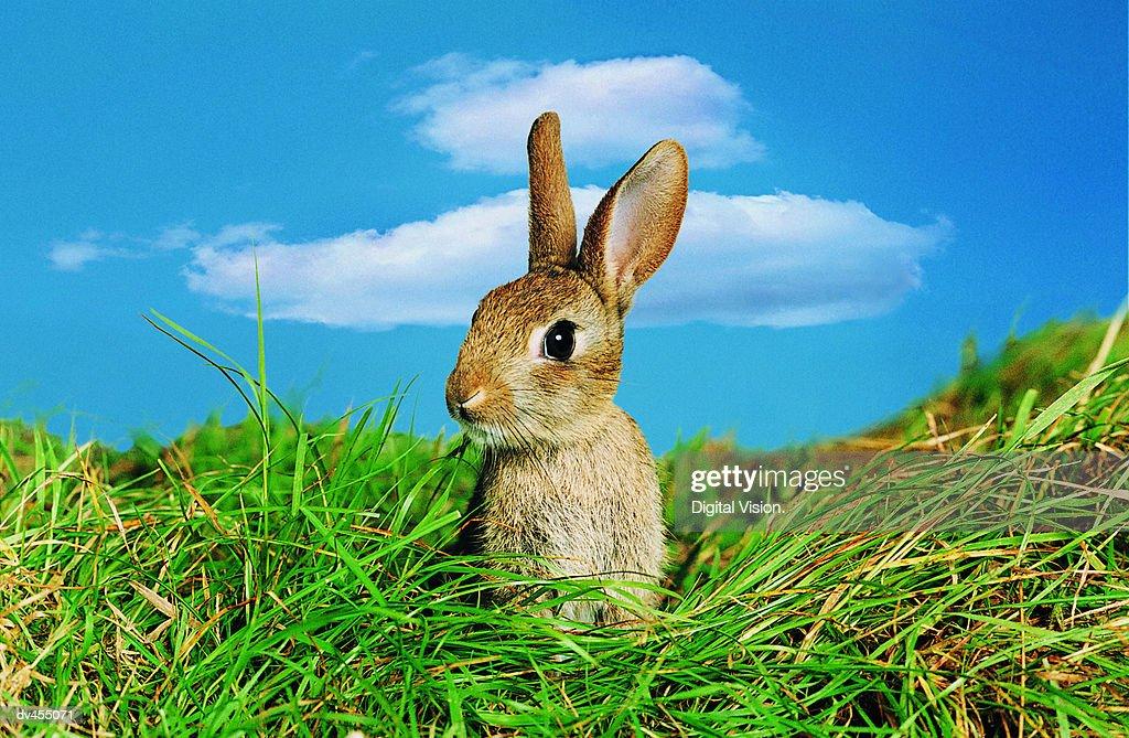 Rabbit in Field : Stock Photo