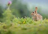 Rabbit in a summer meadowisolated on a background of the Yorkshire Dales