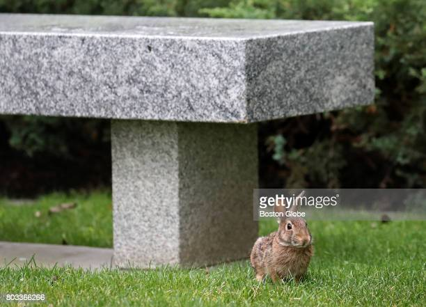 A rabbit is pictured on the grounds of the Massachusetts State House in Boston on Jun 27 2017 Whether theres been an actual surge in the number of...