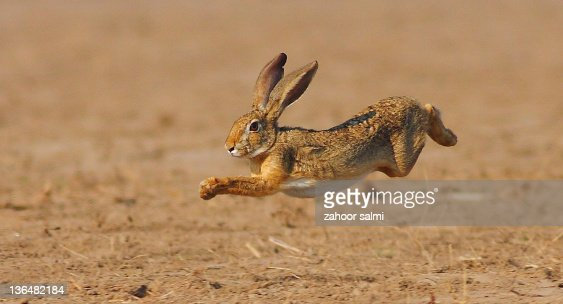 Rabbit jumping in field : Stock Photo