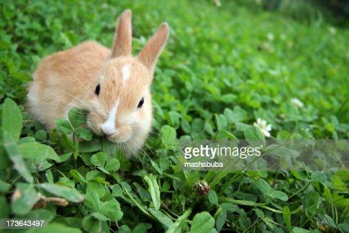 Rabbit on clovers.