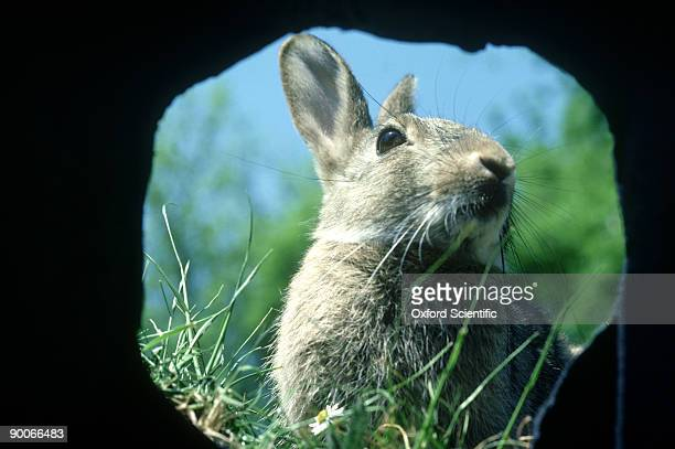 rabbit: oryctolagus cuniculus  11 weed old at burrow  entran ce