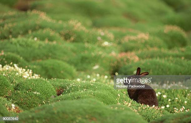 Rabbit, Oryctolagus cuniculus,  black variety on Skomer Is., Wales